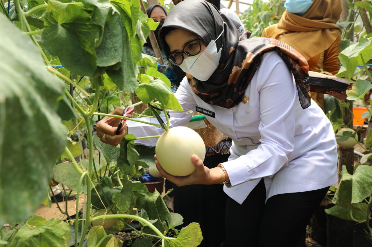 Panen Raya Melon di Kecamatan Binangun